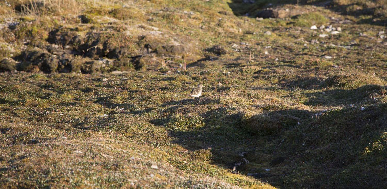 Bécasseau violet dans la toundra du Svalbard