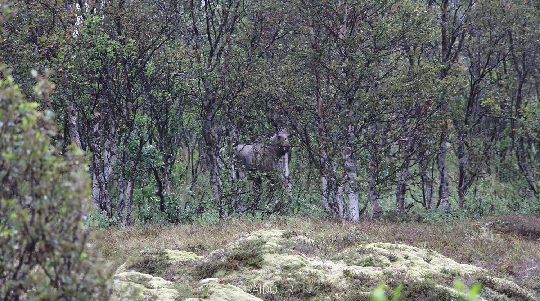 Elan îles lofoten, Norvège