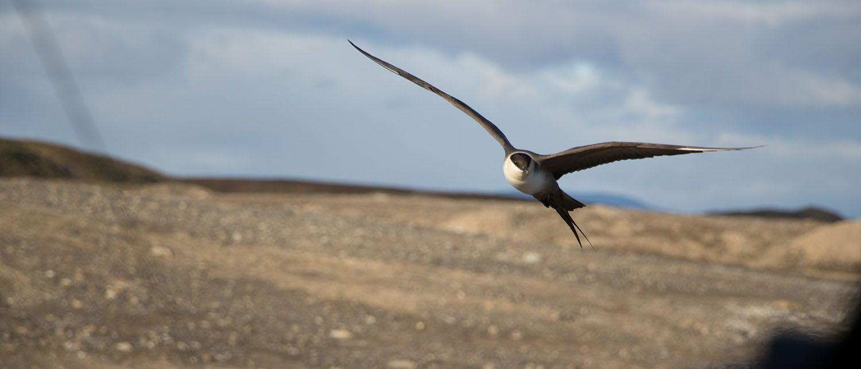 Labbe à longue queue, Svalbard