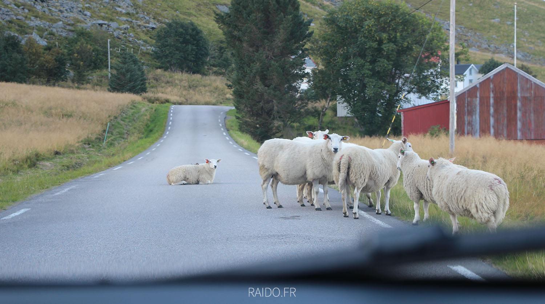 Moutons des Lofoten
