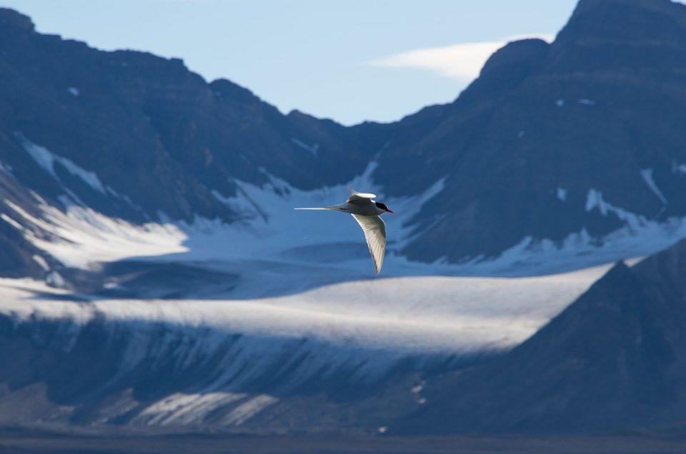 Les oiseaux à observer au Svalbard
