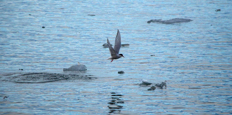 Sterne arctique qui pêche